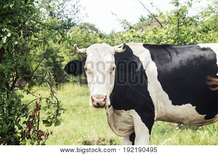 A cow stands near a bush and looks summer