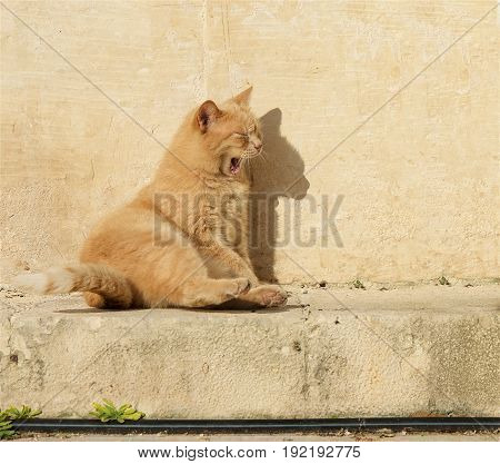 Yellow orange cat relaxing on a sun in the bar. Valletta, Malta. Maltese cat. Cat relaxing on a sun. Funny cat