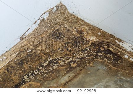 Termites destroying wood from the ground / Termite problem in house concept