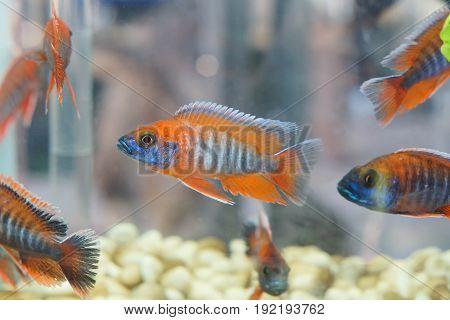Malawi Cichlid / Fish in an aquarium