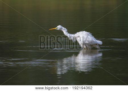 Great White Egret (egretta Alba) Standing In Green Water Shaking Plumage