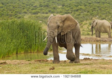 Young aggressive African elephant walking away from a water hole