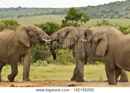 Three African elephants standing and interacting with one another at water hole