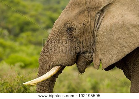 Portrait of a large male African elephant with medium sized tusks