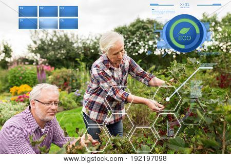 organic farming, agriculture and people concept - senior couple harvesting red currant at summer garden