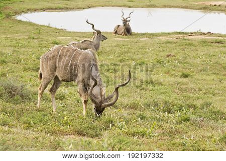 Kudu male with its head down eating grass next to a water hole and two others lying and resting