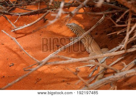A desert lizard rests under some desert shrubs in the heat of the day. He is alert on the bright orange sand.