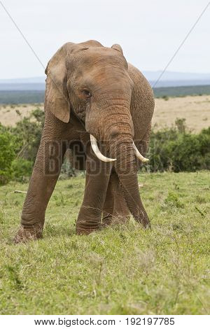 Huge male African elephant standing and pulling out long grass with its trunk to eat
