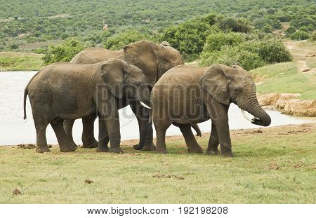 Small family of elephants standing at a water hole on a hot summers day