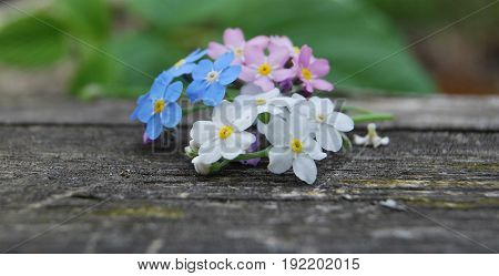 Flowers forget-me-not flowers, three colors: white, blue and pink on a wooden table
