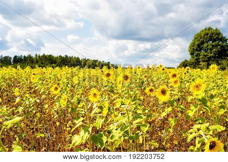 Field Of Sunflowers (helianthus Annuus) In The Lueneburg