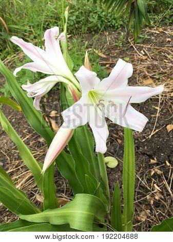 white Crinum latifolium flower in nature garden