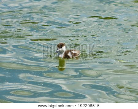 Ruddy shelduck or Tadorna ferruginea small chick close-up portrait swimming in pond selective focus shallow DOF.