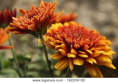 Close-up of two orange and yellow-colored mum flowers.
