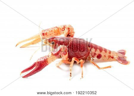 Crayfish Procambarus Clarkii Ghost On Black Background.