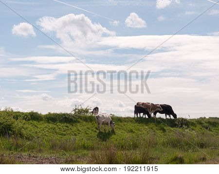 several cows atop the hilldside on a path in the country farm land grass grazing and eating milk cows without people and the sky in the background stunning pastoral essex england uk