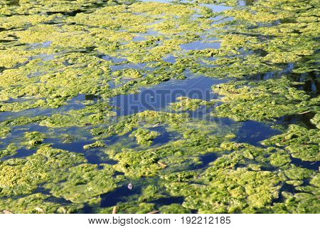Green Water Alga