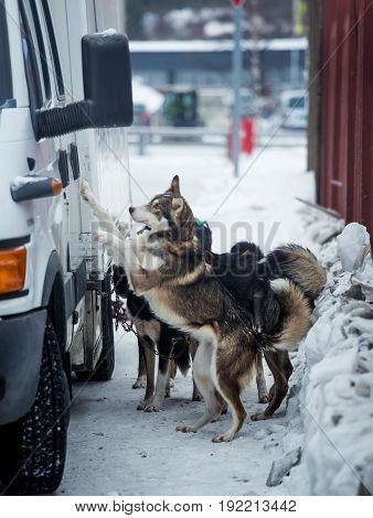 Long Distance Siberian Sled Dogs Waiting For A Race In Norway