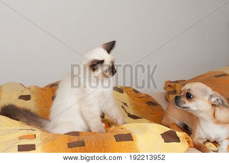 A Seal Point Birman Cat And Cinnamon Chihuahua Lie On The Bed