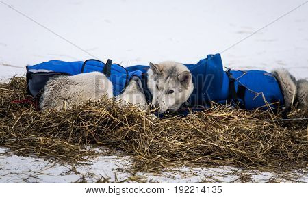 Long Distance Siberian Sled Dogs Resting In Blankets During The Race In Norway