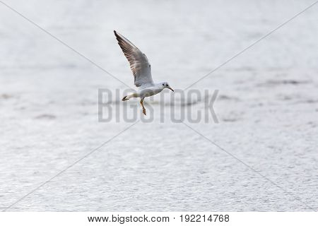 Portrait Of Natural Common Black-headed Gull ( Larus Ridibundus) In Flight Over Water