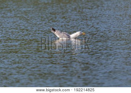 Portrait Of Swimming Yellow-legged Gull (larus Michahellis) In Water