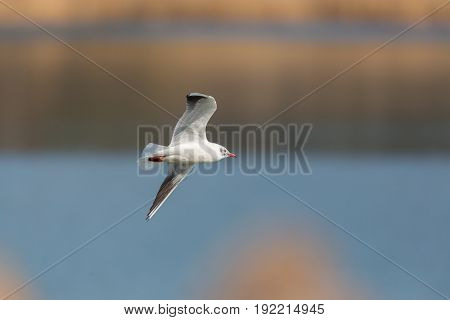 Portrait Of Natural Common Black-headed Gull ( Larus Ridibundus) In Flight