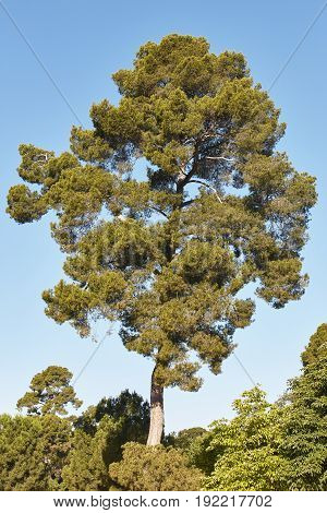 Great pine tree over a blue sky. Nature background. Vertical
