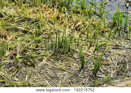 Shoots of aquatic plants in shallow waters
