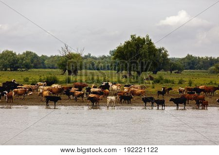 Group of cows in the Danube delta