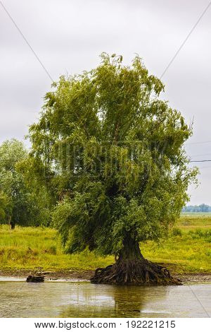 An old willow on the bank of the Danube