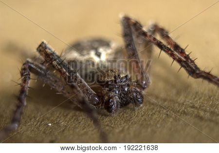 Spider on a brown background, macro photo