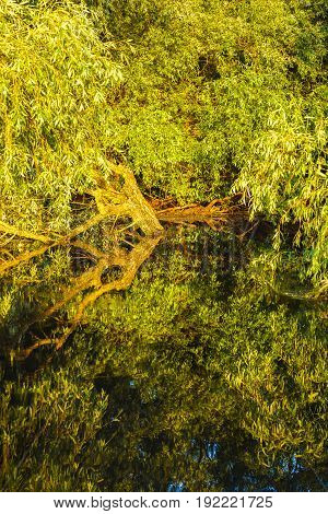 Willow on water somewhere in the Danube Delta