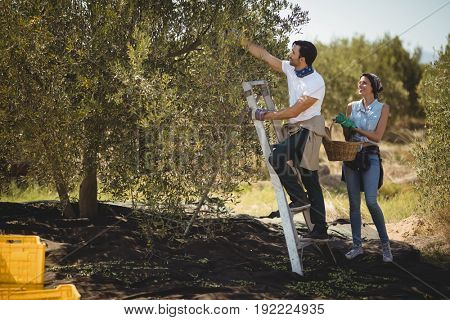 Smiling woman holding basket while man plucking olives at farm