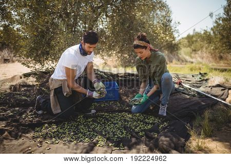 Young couple collecting olives at farm during sunny day
