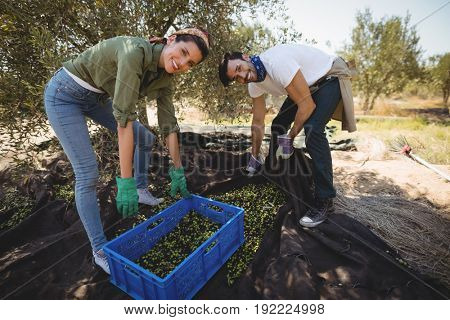 Portrait of happy young couple collecting olives at farm