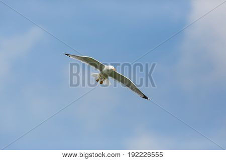 Yellow-legged Gull (larus Michahellis) In Flight With Clouds