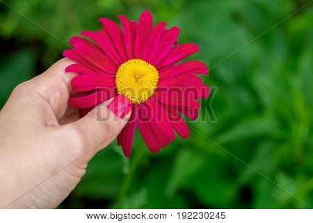 girl's hand with red manicure holding red flower
