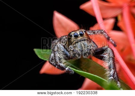 Super macro male Hyllus or Jumping spider on Ixora