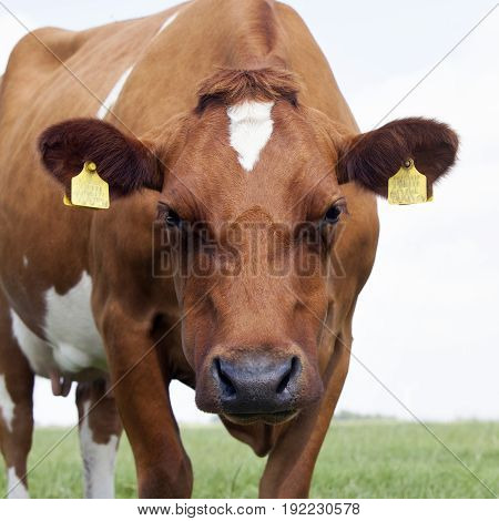 closeup of red and white cow in green grassy dutch meadow in the netherlands