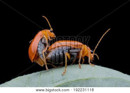 Close up Cucumber or Cucurbit beetle mating on green leaf