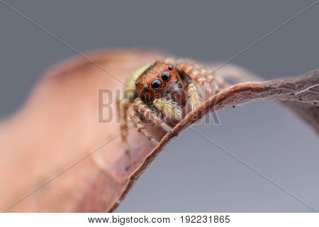 Close up Jumping spider on dried leaf