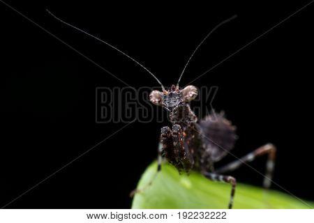 Close up tiny Mantis on green leaf