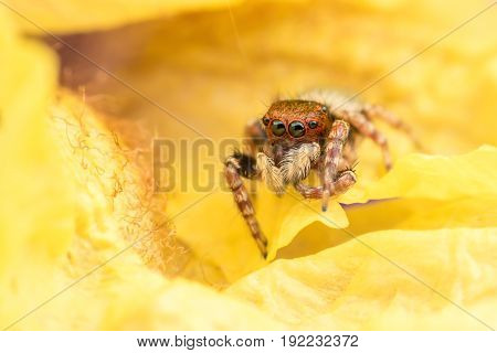 Close up jumping spider inside yellow flower