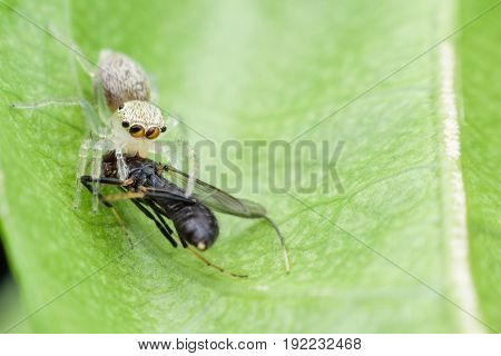 Close up Jumping spider eating fly on green leaf