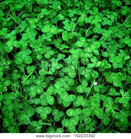 Fresh green clovers in the spring plant,
