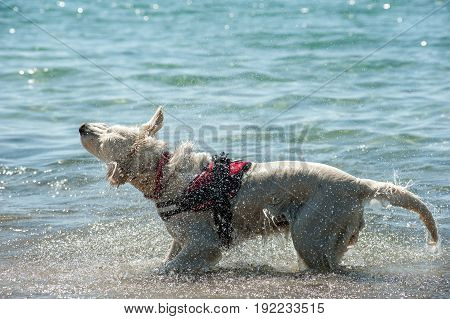 Lifeguard dog with harness shake off water after swim