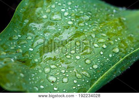 Green leaf and raindrops on its surface. Vegetation - the lungs of the planet. Background Dew on grass macro.
