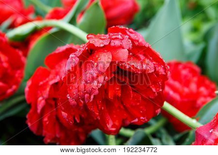 Red roses with rain drops macro. Lovely delicate flowers in the morning. Background Dew on grass macro.