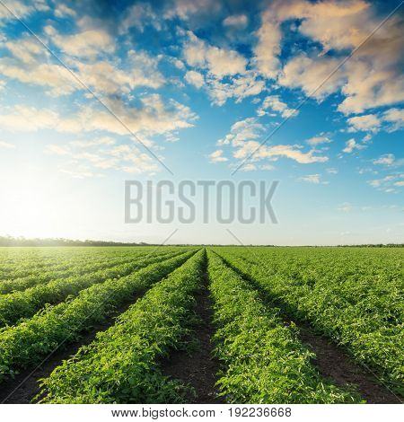 green agriculture field with tomatoes and sunset in blue sky with clouds